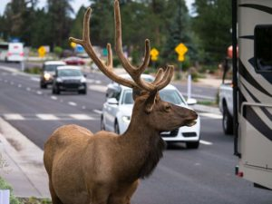 Deer in city